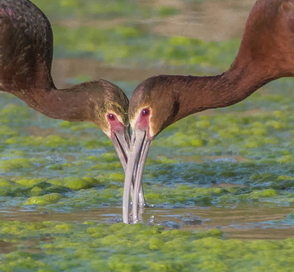 Photograph - White-faced Ibis 5187-061019-2 by Tam Ryan