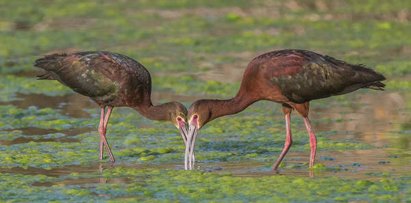 Photograph - White-faced Ibis 5187-061019 by Tam Ryan