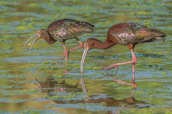 Photograph - White-faced Ibis 5324-061019 by Tam Ryan