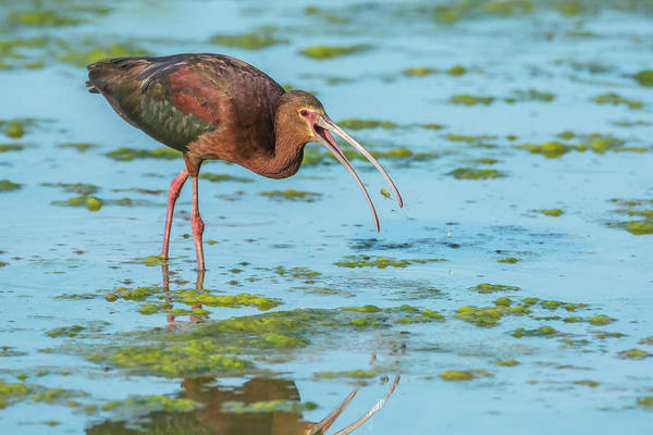 Photograph - White-faced Ibis 5481-061019 by Tam Ryan