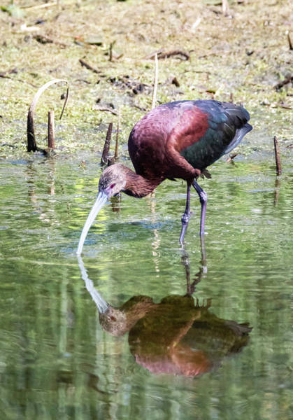 Photograph - White Faced Ibis 6 by Michael Chatt