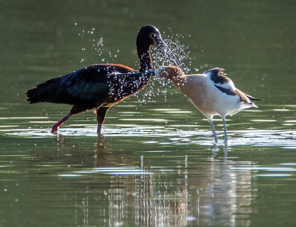Photograph - White-faced Ibis And American Avocet 4835-060519-2 by Tam Ryan