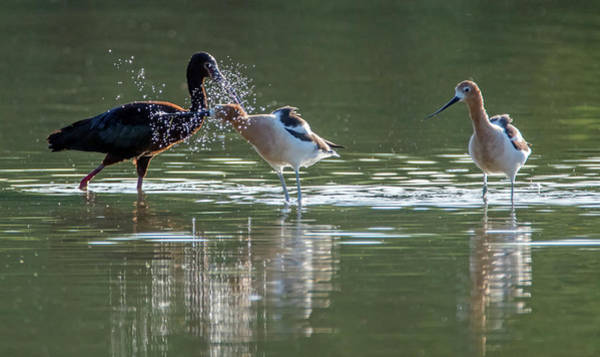 Photograph - White-faced Ibis And American Avocets 4835-060519 by Tam Ryan