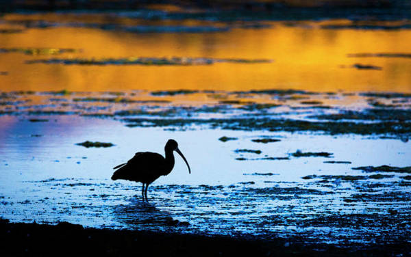 Photograph - White Faced Ibis Silhouette by Rick Mosher