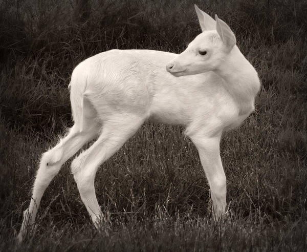 Fawn Photograph - White Fawn by J. Macneill-traylor