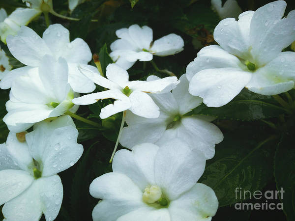 Photograph - White Flowers by Robert Knight