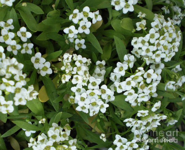 Photograph - White Flowers W6 by Monica C Stovall