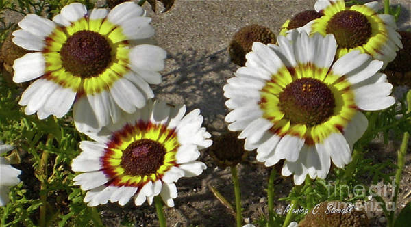 Photograph - White Flowers W7 by Monica C Stovall