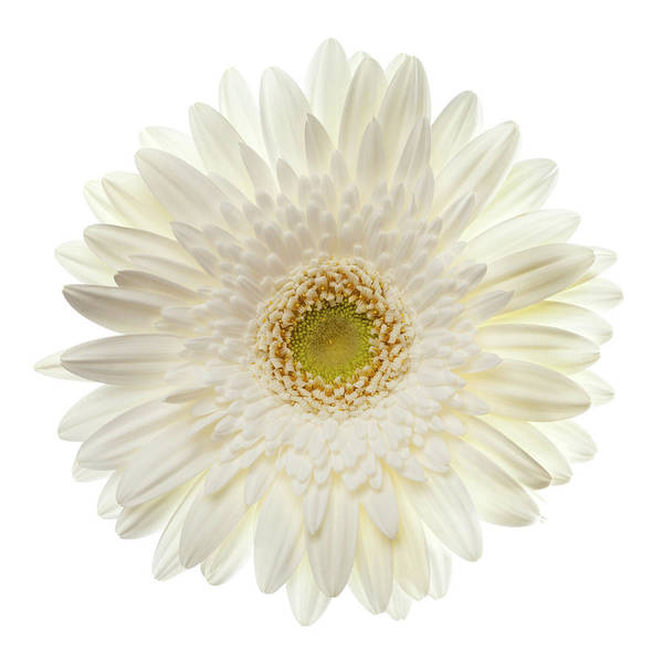 Daisy Photograph - White Gerbera Daisy Isolated On White by Jill Fromer