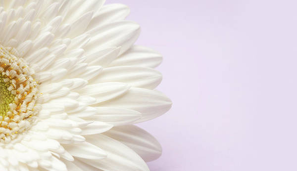Daisy Photograph - White Gerbera Daisy On Lavender by Jill Fromer