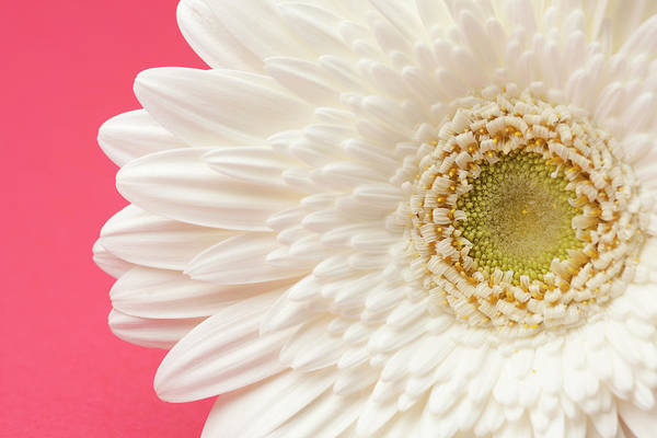Daisy Photograph - White Gerbera Daisy On Pink Background by Jill Fromer