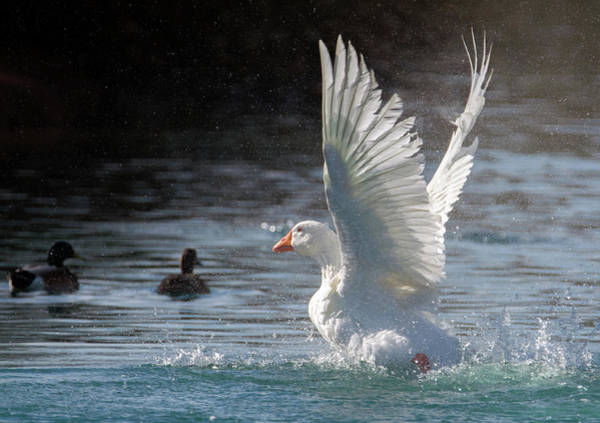 Photograph - White Goose 1235-011719 by Tam Ryan