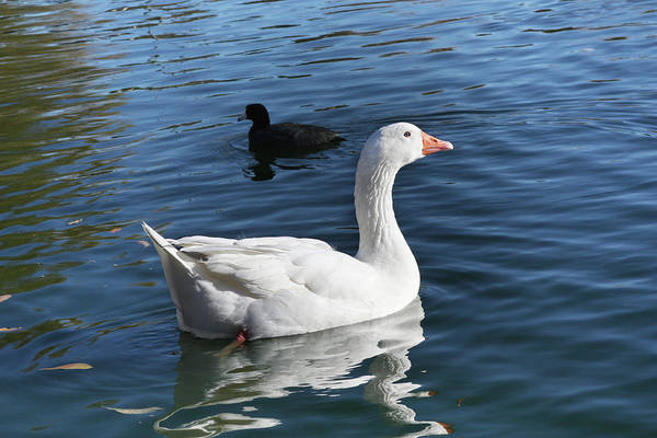 White Goose In A Pond Art Print