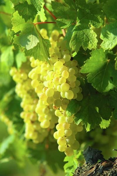 Napa Valley Photograph - White Grape by Jyb