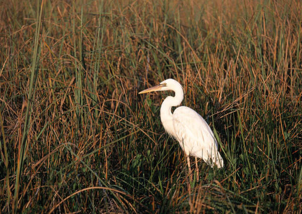 Wall Art - Photograph - White Great Blue Heron by David Hosking