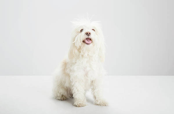 Messy Photograph - White Havanese Dog, Looking To Camera by Jw Ltd
