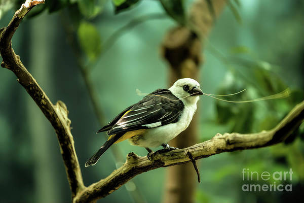 Photograph - White Headed Buffalo Weaver by Jon Burch Photography