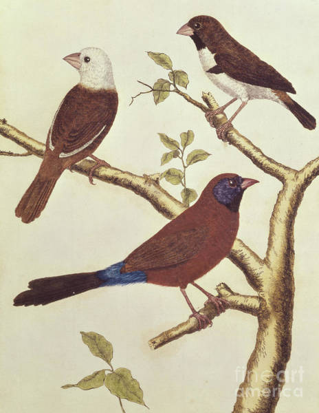 Wall Art - Painting - White Headed Munia, Double Coloured Seed Eater And Violet Eared Waxbill by Francois Nicolas Martinet