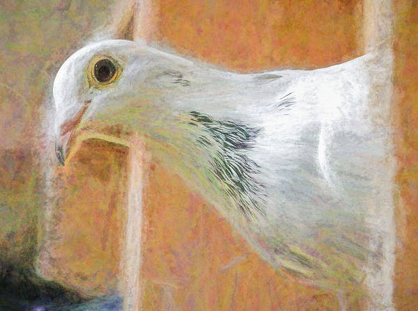 Photograph - White Homing Pigeon Chalk by Don Northup