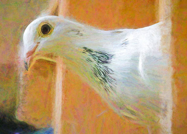 Photograph - White Homing Pigeon Chalk Smudge by Don Northup
