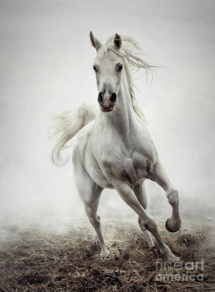 Photograph - White Horse Running In Winter Mist by Dimitar Hristov