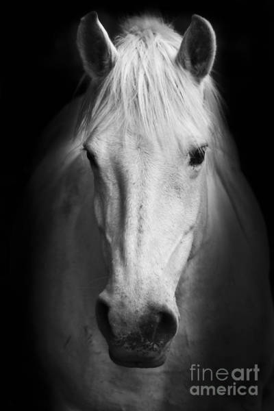 Horse Head Wall Art - Photograph - White Horses Black And White Art by Matej Kastelic