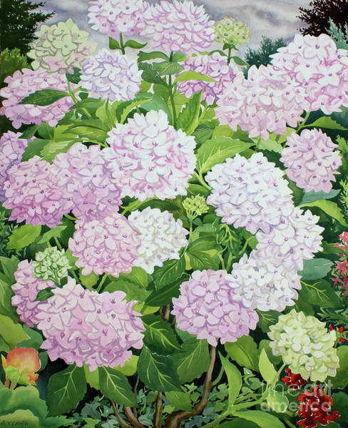 Wall Art - Painting - White Hydrangea by Christopher Ryland