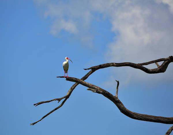 Freshwater Photograph - White Ibis Eudocimus Albus by Louise Heusinkveld