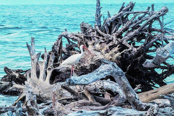 Wall Art - Photograph - White Ibis In Cayo Costa by Mary Ann Artz