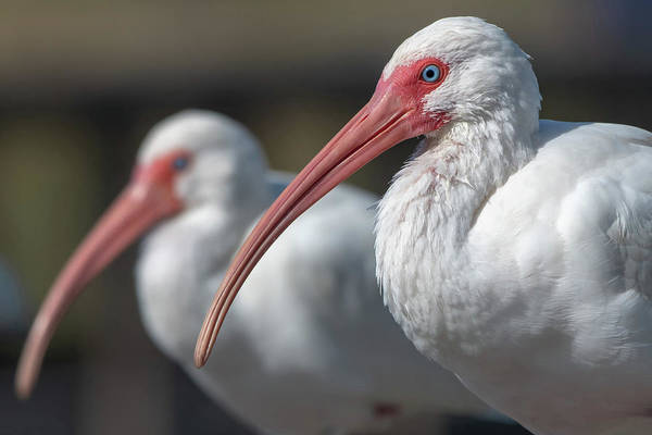 Photograph - White Ibis by Ken Stampfer