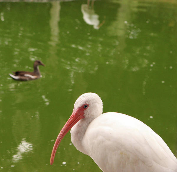 White Ibis Wall Art - Photograph - White Ibis Resting In Front Of A Pond by Fyza Hashim