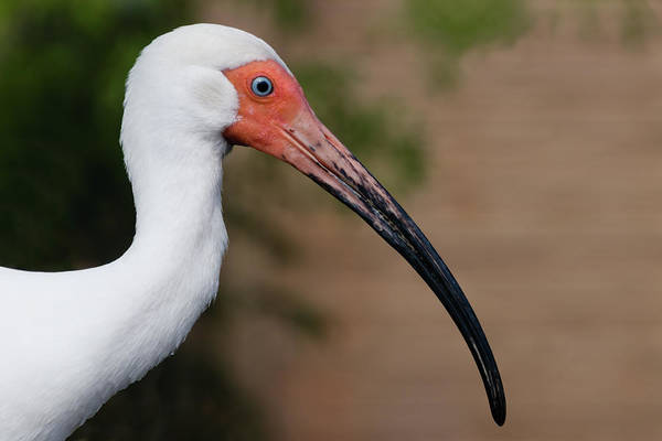 Photograph - White Ibis With Muddy Beak by Dawn Currie