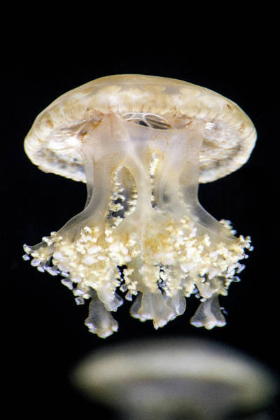 Photograph - White Jellyfish by Don Johnson