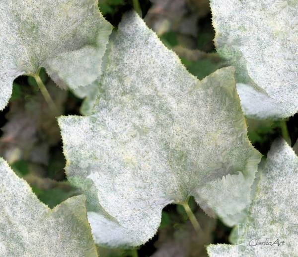 Biota Photograph - White Leaves by Jean Clarke