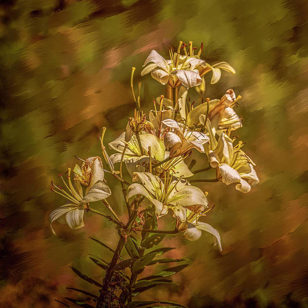 Photograph - White Lilies Aug- by Leif Sohlman
