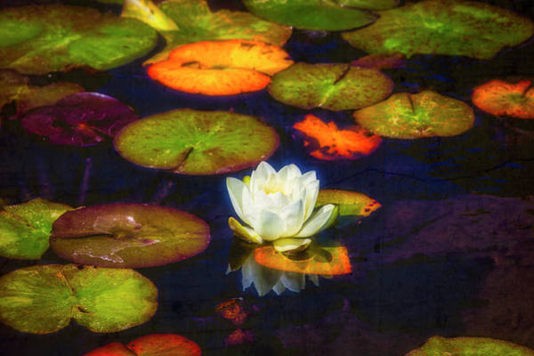 Wall Art - Photograph - White Lily In Garden Pond by Garry Gay
