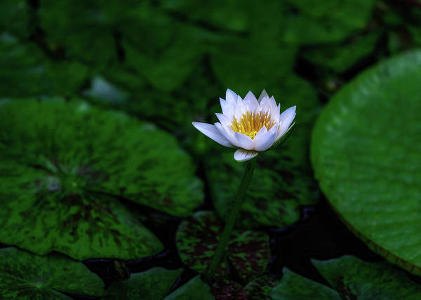 Wall Art - Photograph - White Lotus by Jade Moon