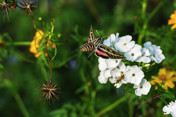 Photograph - White Lined Sphinx Moth by Edward Peterson