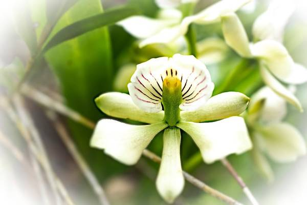 Photograph - White Little Orchid by Silvia Marcoschamer