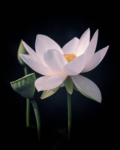 Photograph - White Lotus Flower by Julie Palencia