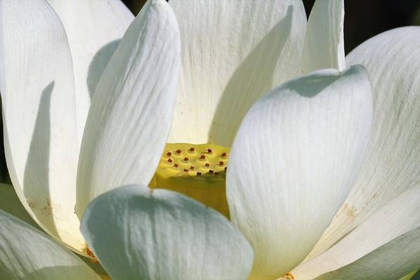 Photograph - White Lotus Flower by Sheila Brown