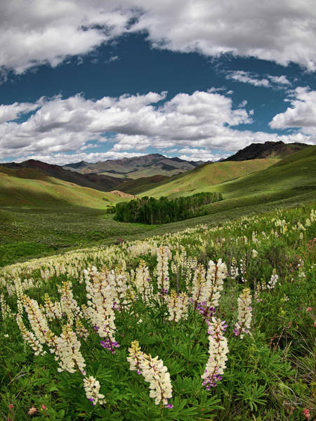 Photograph - White Lupine by Leland D Howard