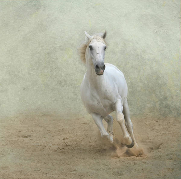 Dust Photograph - White Lusitano Horse Galloping by Christiana Stawski