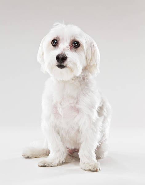 Lap Dog Photograph - White Maltese Dog Looking At Camera by Evan Kafka