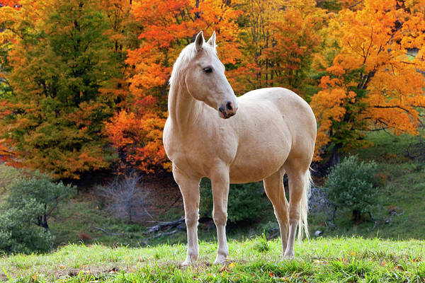 Mare Photograph - White Mare In Autumn, Woodstock by Danita Delimont