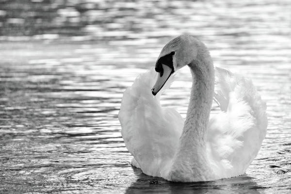Wall Art - Photograph - White Mute Swan In B And W by Maria Keady