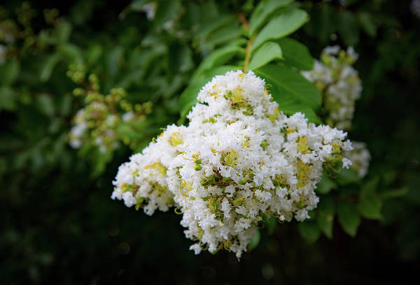 Photograph - White Myrtle by Lora J Wilson