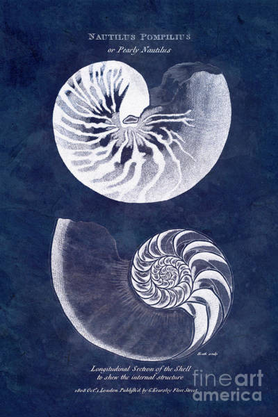 Wall Art - Photograph - White Nautilus On Blue by Delphimages Photo Creations