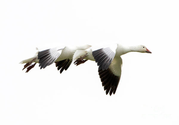 Snow Goose Photograph - White On White by Mike Dawson