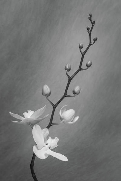 Wall Art - Photograph - White Orchid Buds by Tom Mc Nemar